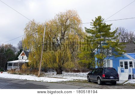 HARBOR SPRINGS, MICHIGAN / UNITED STATES - NOVEMBER 21, 2016: An old weeping willow tree (Salix babylonica) stands in a residential area on Fourth Street in Harbor Springs.