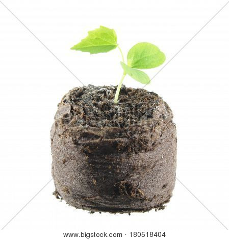 Seedling of Cucamelon (Melothria scabra) with two green cotyledon leaves and true leaf in clod of soil isolated on white background