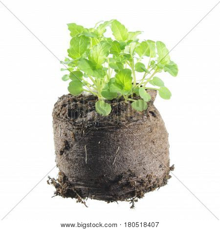 Young common balm (Melissa officinalis) plants isolated on white background. Seedling in clod of soil