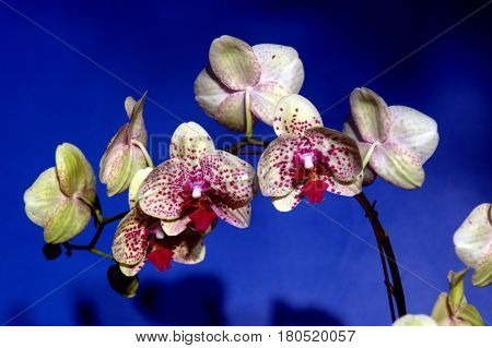 Moth Phalaenopsis White Purple dots Orchid blue background beautiful lovely