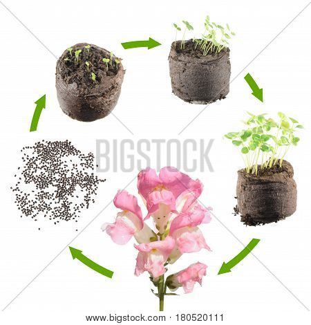 Life cycle of plant. Stages of growth of snapdragon from seed to flowering plant