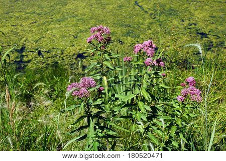Swamp milkweed (Asclepias incarnata), also known as rose milkweed, rose milkflower, swamp silkweed, and white Indian hemp, flowers on the shore of a small lake in Joliet, Illinois, during June.