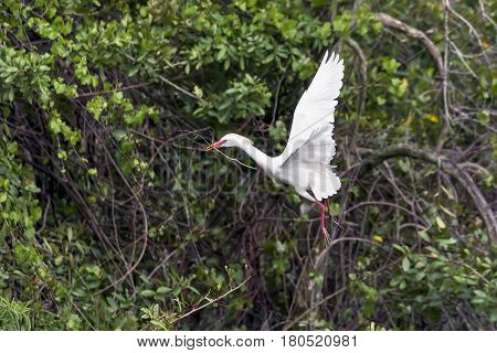 A cattle egret flies with a stick to build a nest.