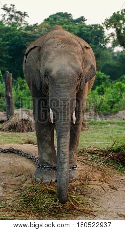 Face and front view of young asian elephant