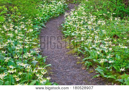 Pathway of white fawn lily flowers in meadow. Species name is erythronium oregonum