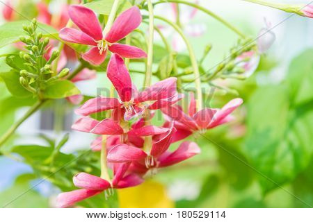 Quisqualis indica or Rangoon Creeper have red and pink flower