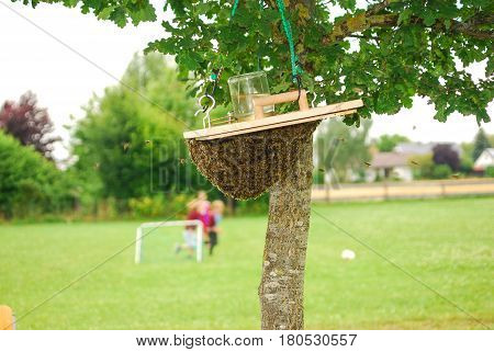 Bees fly towards their queen which is hanging from a box lid by a tree