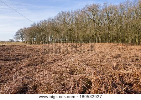 Oak trees with ferns in the Amsterdam water abstraction dunes in De Zilk in The Netherlands.