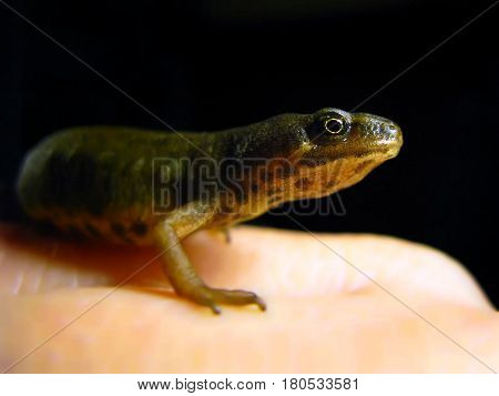 Smooth Newt sitting on a person's hand