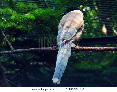 Asian azure-winged magpie perching in a zoo