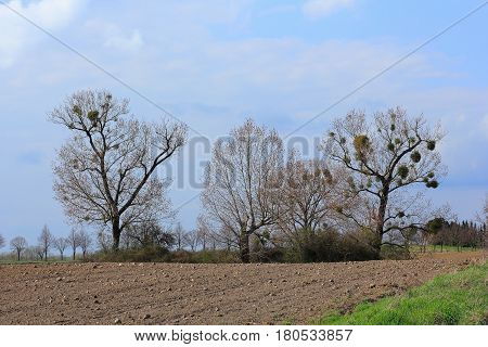 Trees with mistletoe in the boughs in early spring