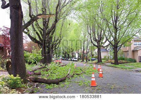 Alameda CA - April 07 2017: Storm damage after 70 mph wind with rain hit the Bay Area overnight. Large branch from a Sweet Gum Tree on Gibbons Dr fell into the middle of the road over night.