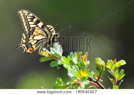 Common Yellow Swallowtail butterfly, Papilio machaon. Butterfly on branch with a green background