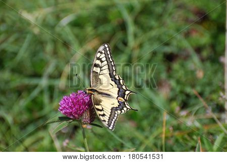 Common Yellow Swallowtail collecting nectar on the flower. Papilio machaon in natural habitat