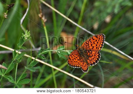 Twin-spot Fritillary butterfly, Brenthis hecate, butterfly in the grass
