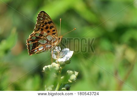 Queen of Spain Fritillary butterfly, Issoria lathonia