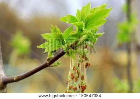 The young leaves. Appeared on the bushes and trees young greens. Tender, green young leaves attracts the eye. Spring came, and nature had awakened, became young again,green