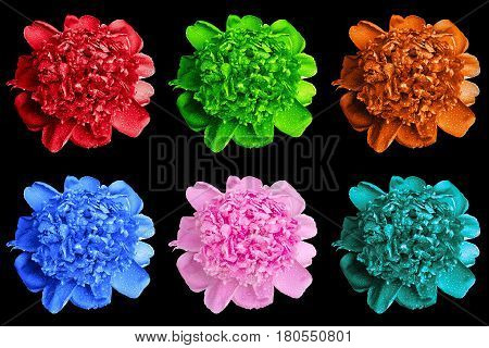 Pack Of Colored Wet Peony Flowers Macro Isolated On Black