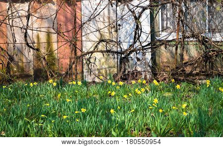 field of daffodils in the country outside the city