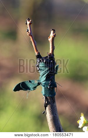 Grafting Fruit Tree In An Apple Orchard