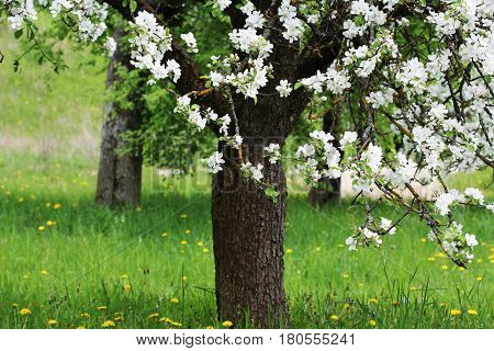 Spring blossom background. Beautiful nature scene with blooming tree. Apple flowers in bloom.