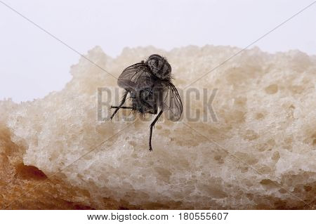 a macro shot of hairy fly from the backside, sitting on a piece of bread