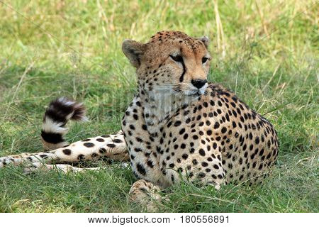 Cheetah (Acinonyx Jubatus) Lying in the Grass Maasai Mara Kenya