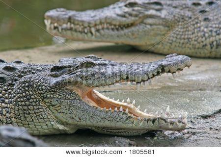 Crocodile Jaws