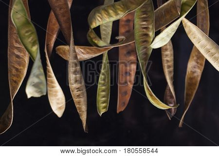 Curly acacia seedpods hanging with a black background