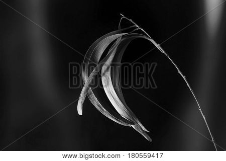 Curved acacia leaves on a twig in black and white