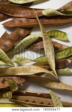 Collection of fresh and dry acacia seedpods