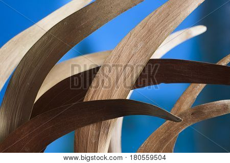 Macro composition of dry curved acacia leaves