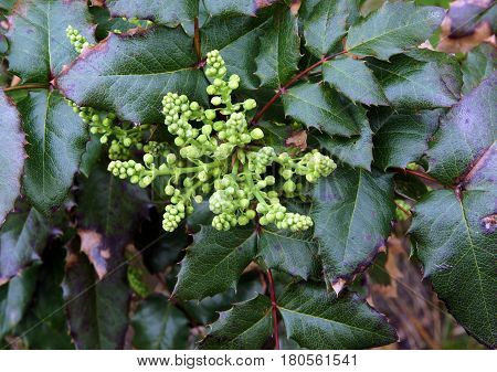 Spring twig of Mahonia aquifolium with green leaves and unblown inflorescencein