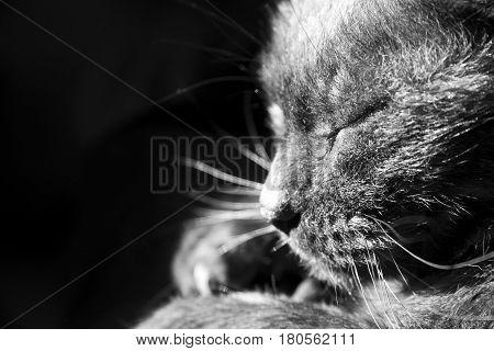 Close Up in schwarz-weiß von einer schwarzen Katze