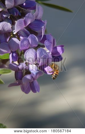 bee collecting nectar from early spring blossoms