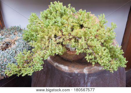 The pine dwarf bonsai in earthenware jardiniere