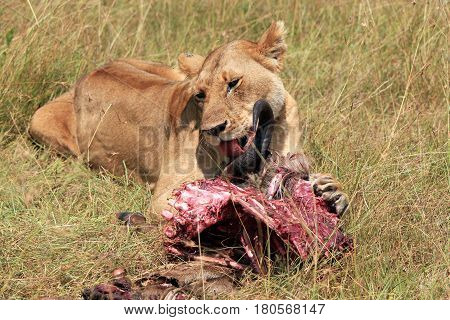Lion (Panthera Leo) Eating a Wildebeest Maasai Mara Kenya