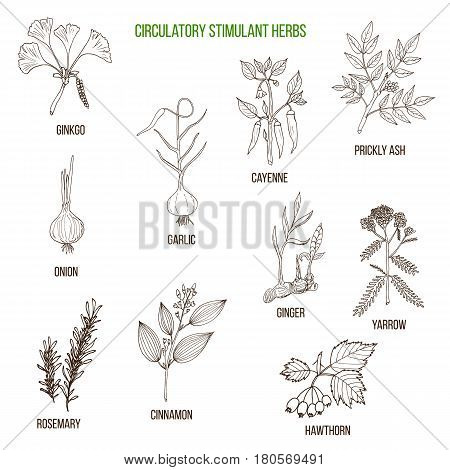 Circulatory stimulant herbs. Hand drawn vector set of medicinal plants