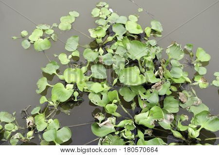 Eichhornia crassipes commonly known as (common) water hyacinth is an aquatic plant native to the Amazon basin and is often considered a highly problematic invasive species outside its native range.