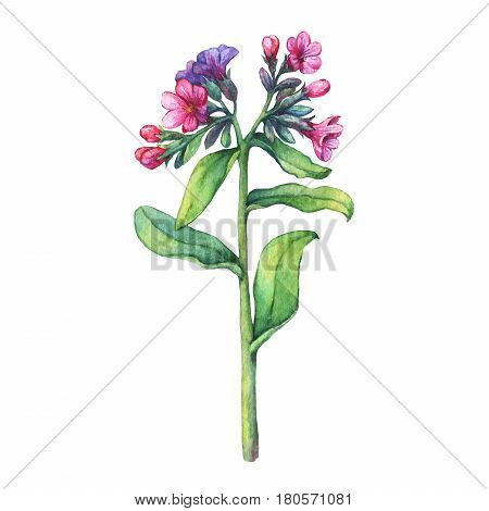 Illustration of  first spring wild flowers - Dark lungwort medicinal (Pulmonaria officinalis). Hand drawn watercolor painting on white background.