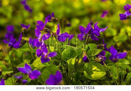 Flowers violets. Wood violets flowers close up. viola odorata