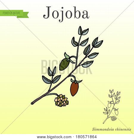 Jojoba Simmondsia chinensis or wild hazel, quinine nut, coffeeberry, gray box bush, branch with fruits. Hand drawn botanical vector illustration