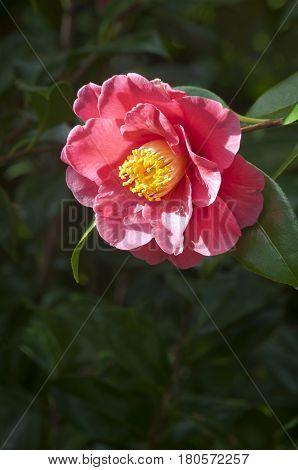Closeup of Deep pink Camellia flower illuminated by the sun