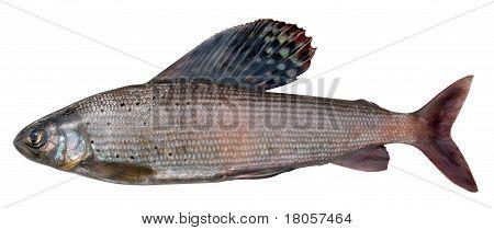 Grayling (thymallus Arcticus Pallasi )