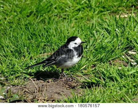 Pied wagtail on grass during early spring