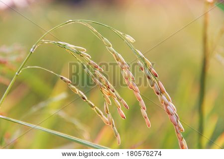 ear of rice in farm evening light