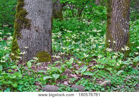 Trees in forest with meadow of Fawn Lily flowers in horizontal position