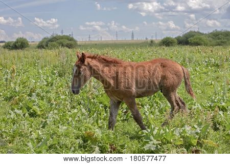 The Little Foal On A Green Meadow