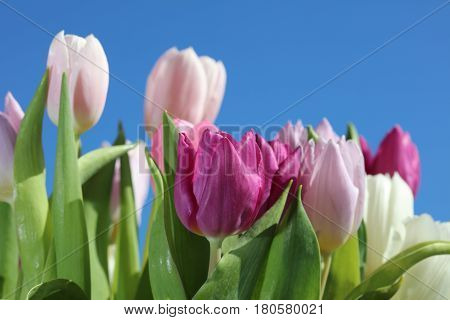 Different  Spring Tulips against blue Sky closeup