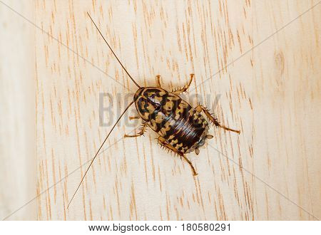 Close up dead cockroach on wood floor background